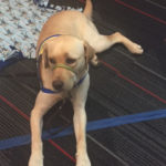 Canine Companions for Independence in training - Lotus